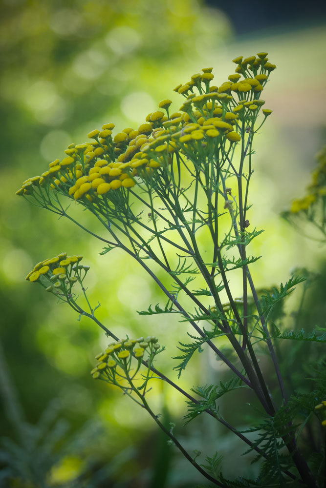 potted tansy