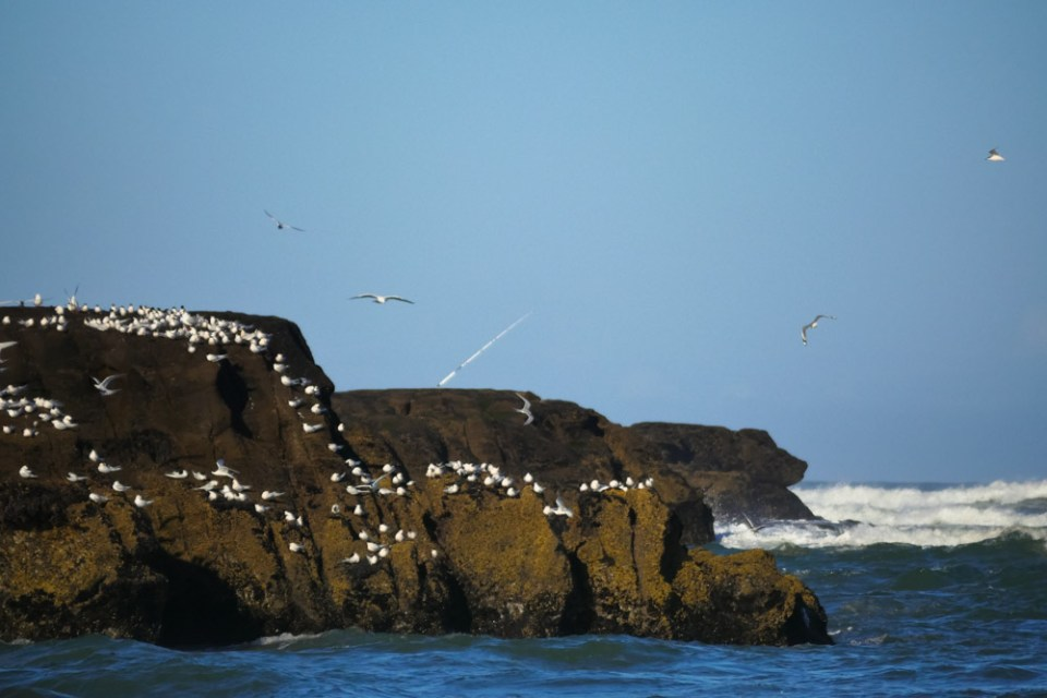 terns and fishing at Muriwai beach