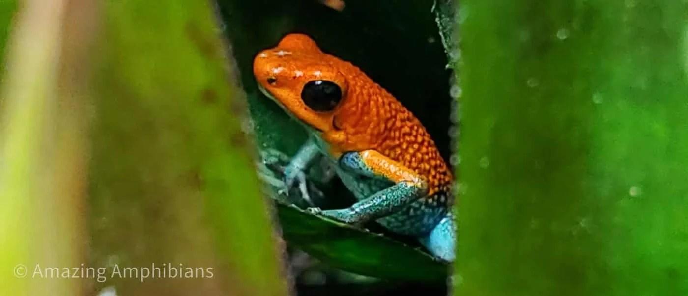 oophaga granulifera 'el golfito' dart frog