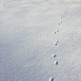 Photo of fox prints in snow