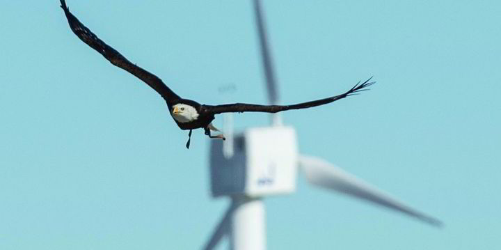 Dogs Sniffed Answers for Bird Fatalities at Wind Turbines