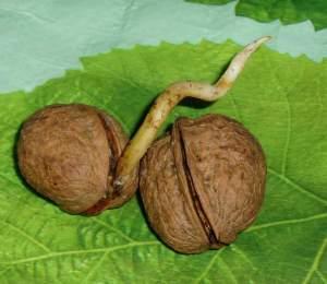 проросший грецкий орех .