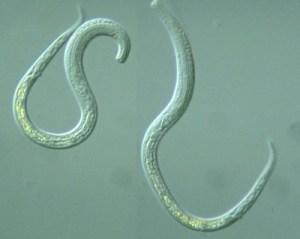 самка и самец глисты нематоды