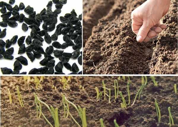 Чем обработать семена лука перед посадкой