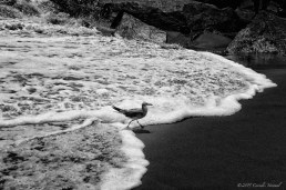 A gull in the surf on the Rockaway beach