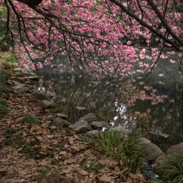 Cherry Blossoms in the Japanese Garden of the Brooklyn Botanic Garden