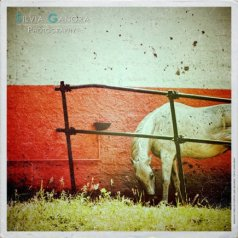 white_horse_dsc_3788-cambag-vinyl-distressed_by_silvia-ganora_-800x600-blue-logo600600