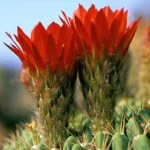 Soehrensia bruchii flowers 4 inch