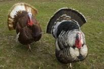 2 turkeys