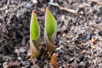 Recovery: You Just Need the Tenacity of a Tulip marilyn l davis from addict 2 advocate