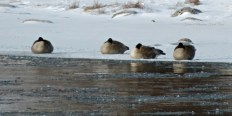 Canadian Geese ~ From a Montana Front Porch