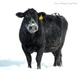 Angus Cow ~ From a Montana Front Porch