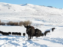Migrating Cows ~ From a Montana Front Porch