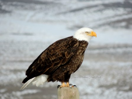 Bald Eagle ~ From a Montana Front Porch