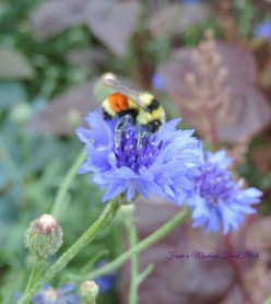 The Bachelor Bumble Bee ~ From a Montana Front Porch