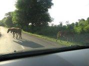 Kami disambut oleh satu tim kuda liar! Just how great is that?