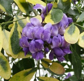 Texas mountain laurel bloom. They smell like grape koolaid