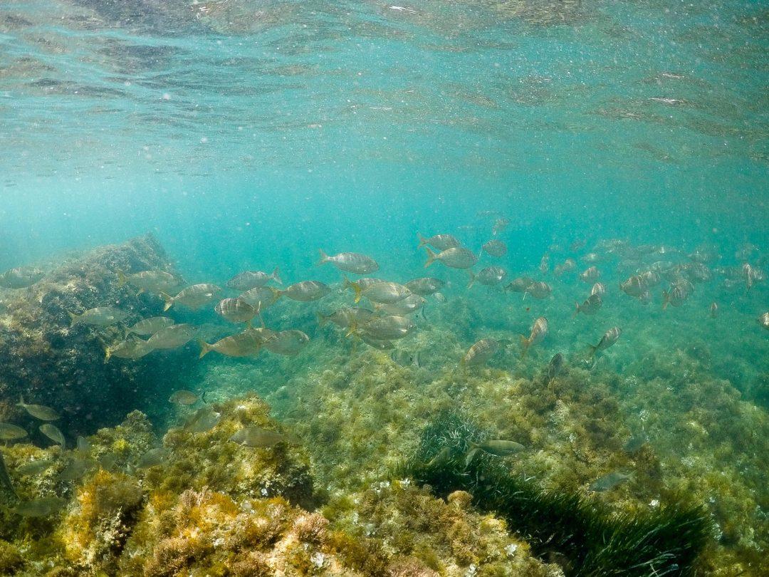 saupe (dorade) sentier du littoral cap d'antibes gopro