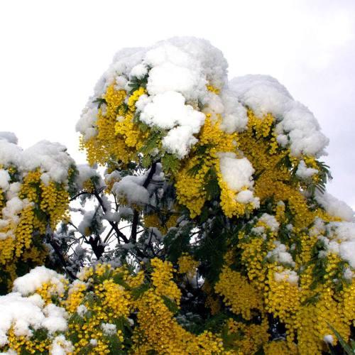mimosa-sous-la-neige-fevrier-2018-cote-dazur