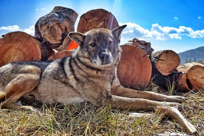 Mongolian dogs