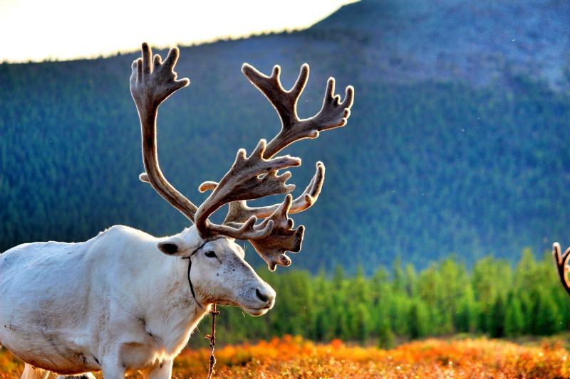 Tsaatan Reindeer Mongolia