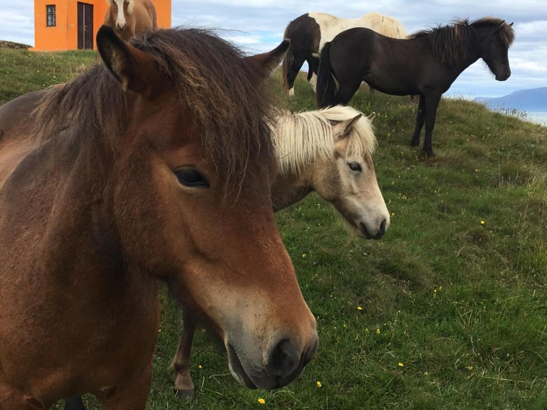 Skagafjörður Horses