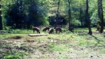 wild pigs (10)