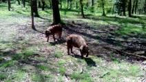 wild pigs (7)