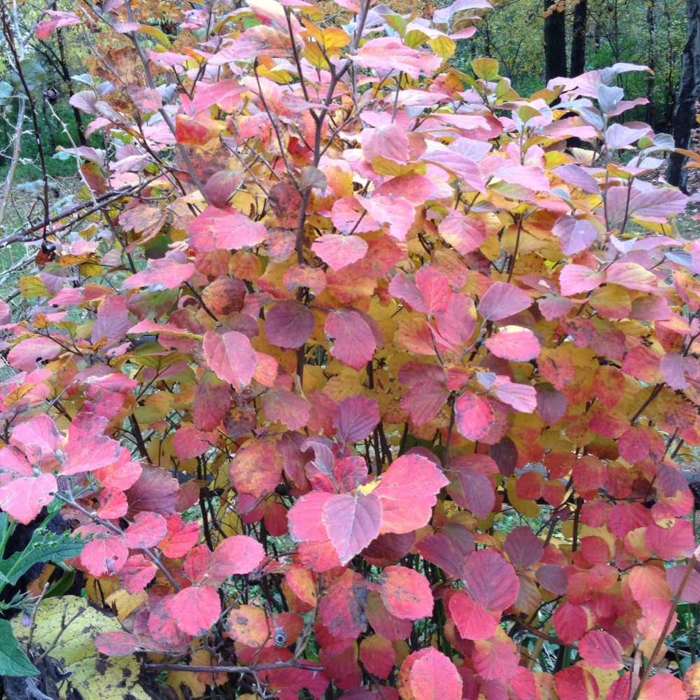 Native plants In their fall colors.  (1/3)