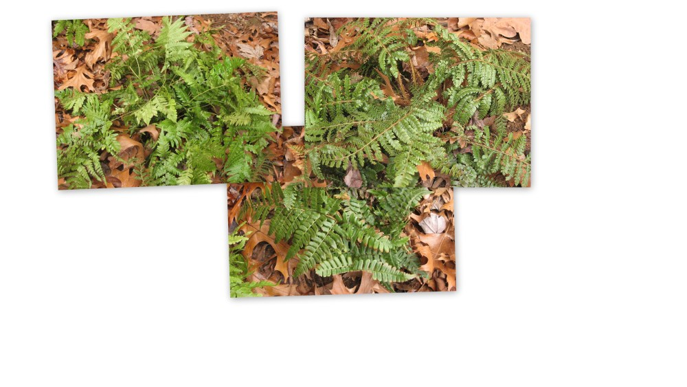 Evergreen Ferns and relatives brighten the Winter landscape.