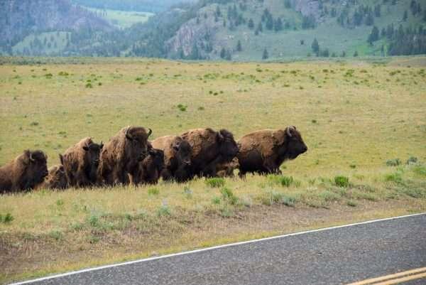 Yellowstone Bison Peeking