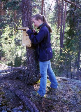 Checking a pied flycatcher nest-box in Turku in 2009. (Photo by Toni Nikkanen)