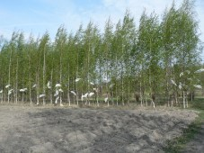 Planted silver birches of known genotypes at Ruissalo, Turku I used in Mäntylä et al. 2008b (Photo by Elina Mäntylä)