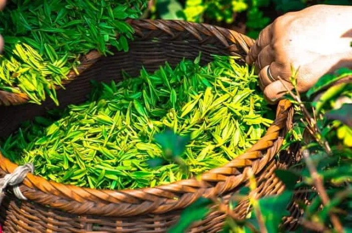 Tea leaves in a basket plucked from Tea plantation farm