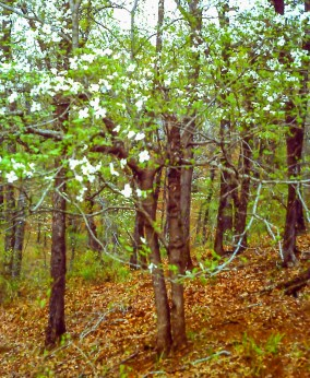 Dogwoods under the forest canopy