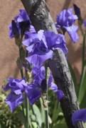 Iris against an adobe wall