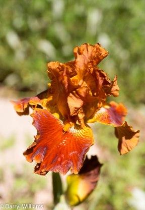 Chestnut-colored iris