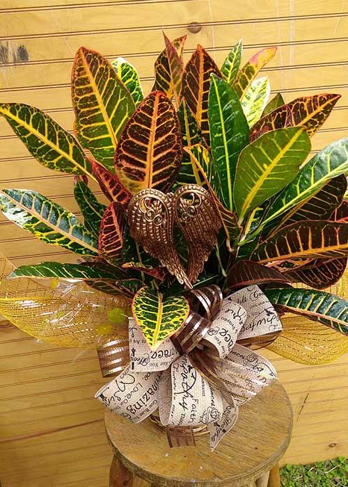 Croton plant $35