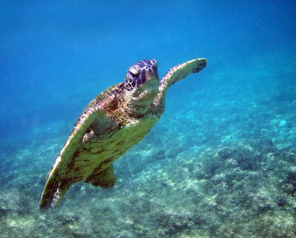 This image has an empty alt attribute; its file name is Green_turtle_in_Kona_2008-1024x823.jpg
