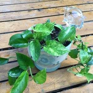 Pothos-will tolerate low light but grows better in medium to bright light; let dry out between waterings. My oldest plant-about 20 years old. It recently suffered a mildew problem but is on the rebound.