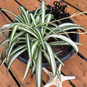 Spider Plant-medium to bright light; dry out between waterings -but not for too long.