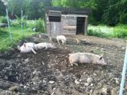 In the Pig Pen