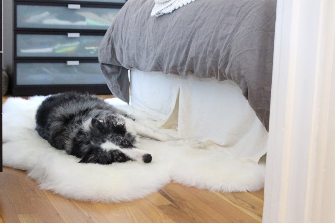 Four pelt sheepskin rug, Reagan's new favorite bed