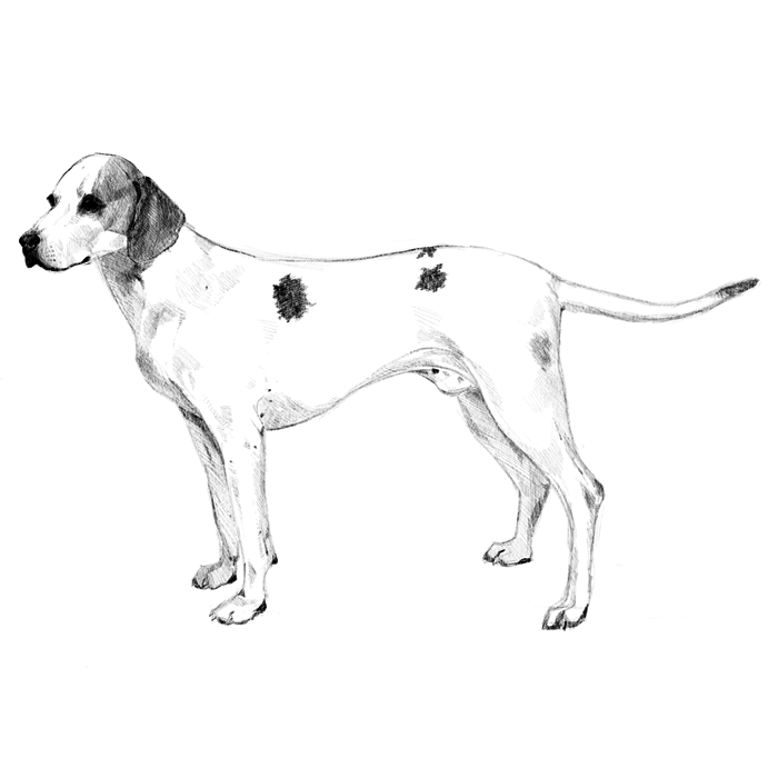 Istrian Shorthaired Hounds: Dog breed info, photos, common
