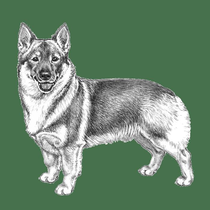 Swedish Vallhunds: Dog breed info, photos, common names