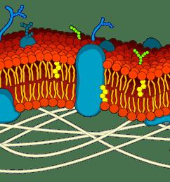 phospholipid bilayer cytosol cell diagram [ 2000 x 827 Pixel ]