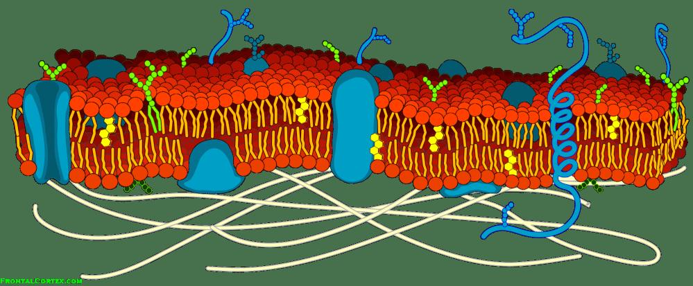 medium resolution of phospholipid bilayer cytosol cell diagram