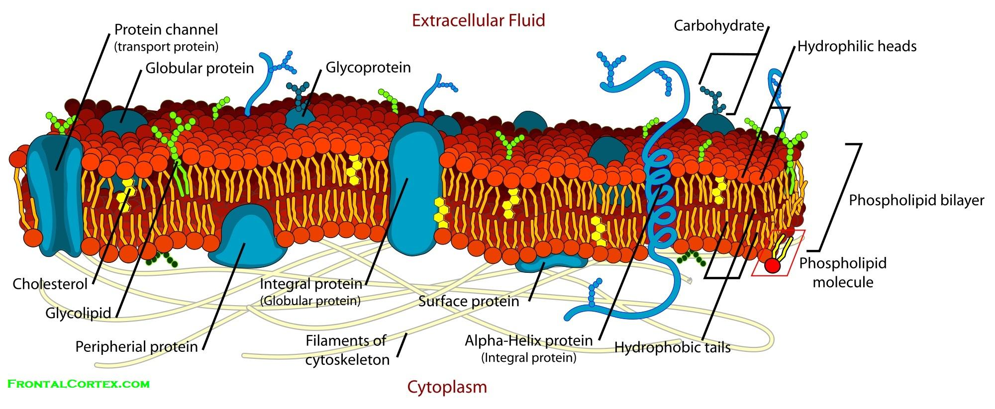 human cell wall diagram labeled how to home elcb wiring membrane detailed