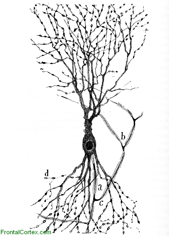 Illustration of a hippocampal neuron
