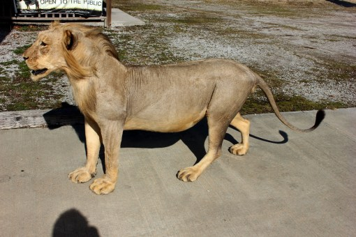 african taxidermy mount